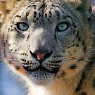 Beautiful Snow Leopard by Dave  Knowles