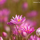 Passion, WA Wildflowers by Malcolm Katon