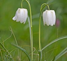 Fritillaria Meleagris by Sarah-Jane Covey