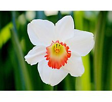 White Daffodil Photographic Print