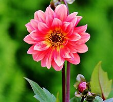 A Pink Flower by Cynthia48