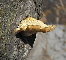 Shelf fungus by DawnT
