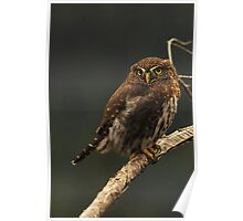 NORTHERN PYGMY OWL Poster