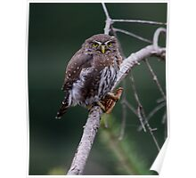 NORTHERN PYGMY OWL WITH A PRAYING MANTIS FOR LUNCH Poster