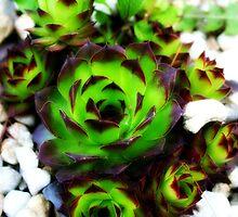 Aeonium Plant by Rabecca Primeau
