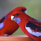 Otway Crimsons by Paul Moore