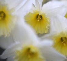 Daffodils with Lensbaby by Barry Culling