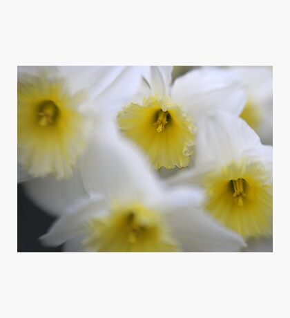 Daffodils with Lensbaby Photographic Print