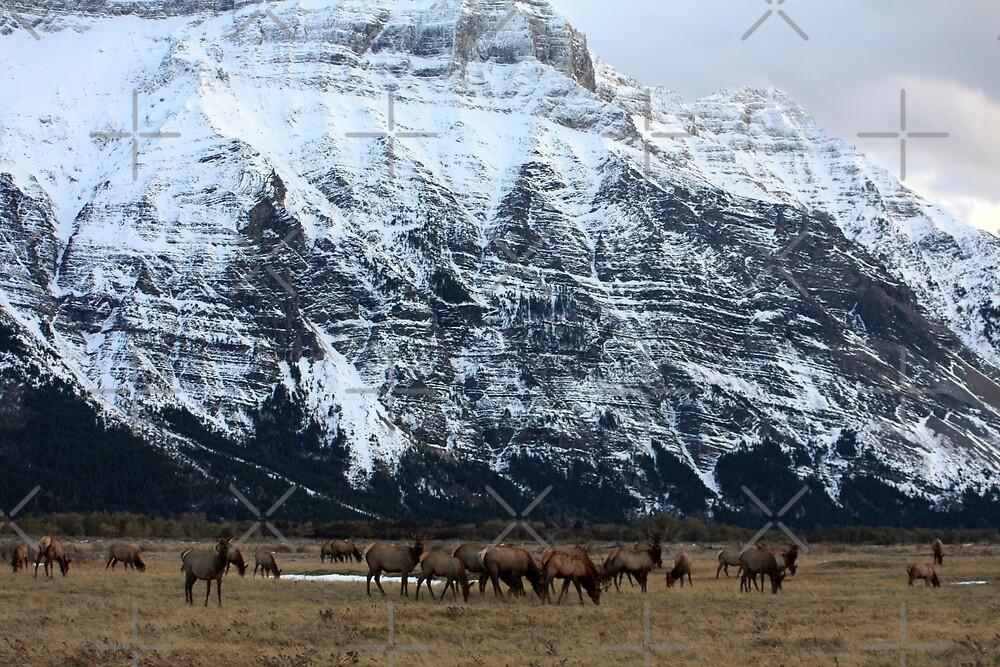 Elk Herd at Waterton by Alyce Taylor