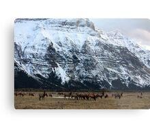 Elk Herd at Waterton Metal Print