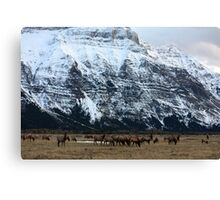 Elk Herd at Waterton Canvas Print