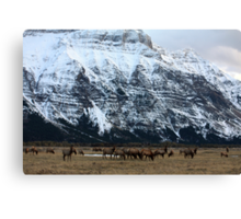Elk Herd at Waterton Canvas Print