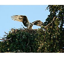 Osprey with spread wings Photographic Print