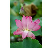 The Lovely Lotus - Mareeba Wetlands Photographic Print