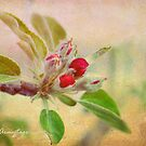 Crabapple Blossom by Chris Armytage™