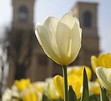 Tulip and Church by Barry Culling