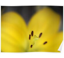 Yellow Stamen with Lensbaby  Poster