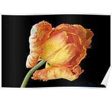 Tulip 'Apricot Parrot' Poster