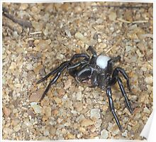 Northern Mouse Spider Poster