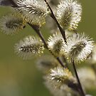 Pussy Willow by Sarah-Jane Covey