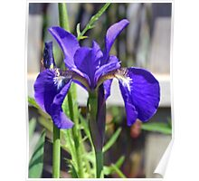 Beautiful Blue Iris........ Poster