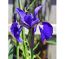 Beautiful Blue Iris........ Photographic Print