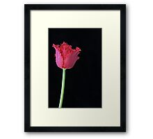 Tulip 'Barbados' Framed Print