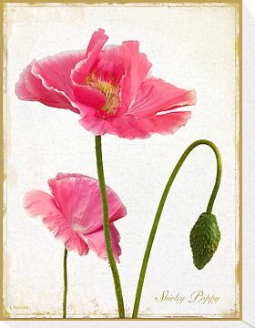 Shirley Poppy Antiqued Botanical by Leslie Nicole