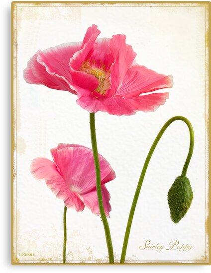 Shirley Poppy Antiqued Botanical by Leslie Nicole
