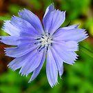 Little Blue Beauty by shimschoot