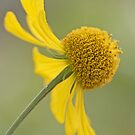 Helenium 'Butter Pat' by Sarah-Jane Covey