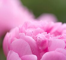 Pink Peony by Sarah-Jane Covey