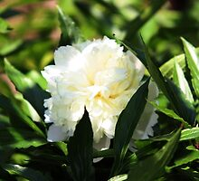 White Peony and Leaves by Dennis Melling