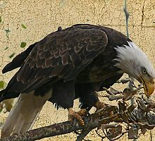 Bald Eagle Textured by Vickie Emms