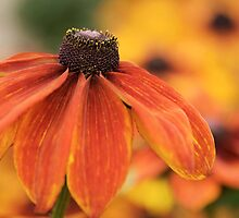 Rudbeckia hirta by Sarah-Jane Covey