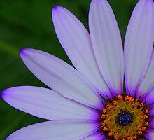 Osteospermum by Sally J Hunter