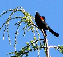 Red-Winged Blackbird Singing from Cypress Tree by Beth Johnston