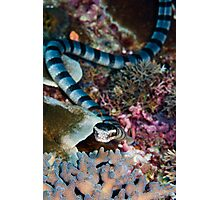 Banded sea snake Photographic Print