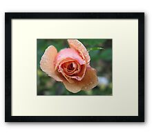 Frothy Apricot Rose Framed Print