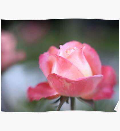 Pink Rose with Lensbaby Poster