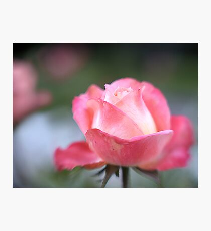 Pink Rose with Lensbaby Photographic Print