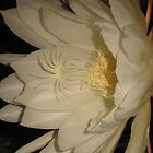 Night Blooming Epiphyllum by jsmusic