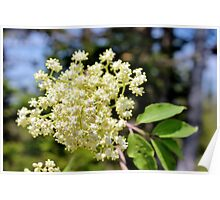 Red Elderberry Blossoms II Poster