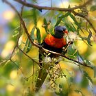 Peckish - Parakeet, Byron Bay, Australia by timstathers