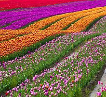 Monet Alive-colorful tulip field waves by Eti Reid