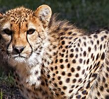 Cheetah by William Bullimore