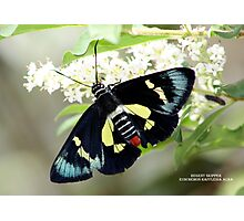 Regent Skipper Photographic Print