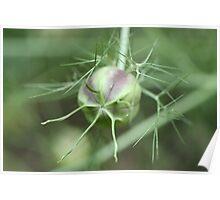 Nigella Seedpod Poster