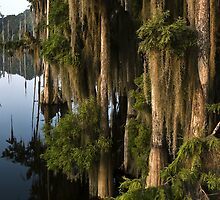 Cypress In Morning Light by Rick  Bender