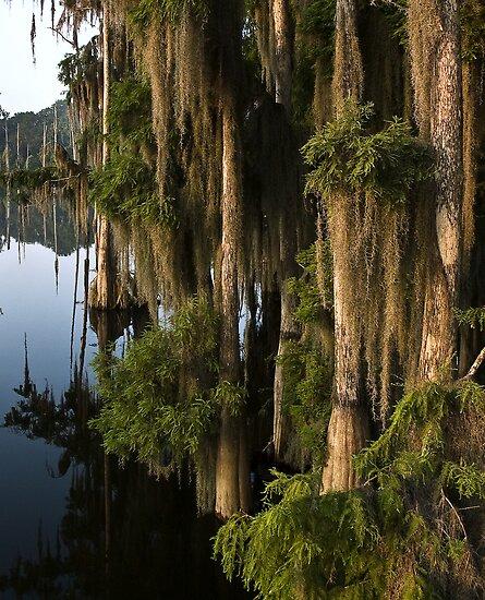 Cypress In Morning Light by Rick  Bender